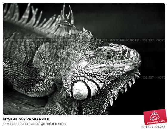 Игуана обыкновенная, фото № 109237, снято 23 октября 2007 г. (c) Морозова Татьяна / Фотобанк Лори