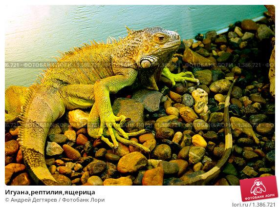 Купить «Игуана,рептилия,ящерица», фото № 1386721, снято 16 мая 2009 г. (c) Андрей Дегтярев / Фотобанк Лори
