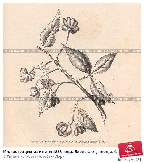 Иллюстрация из книги 1888 года. Бересклет, плоды. Оригинальный вариант, иллюстрация № 94081 (c) Tamara Kulikova / Фотобанк Лори