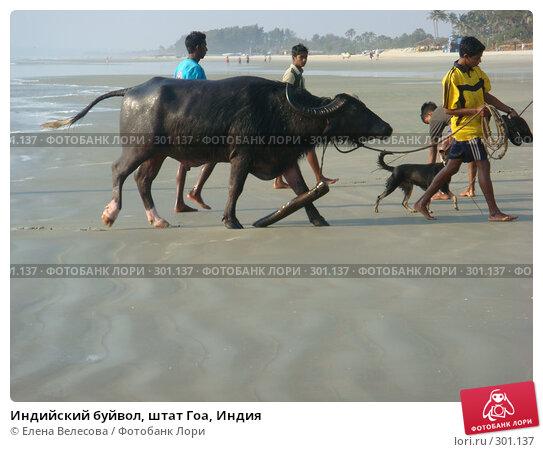 Купить «Индийский буйвол, штат Гоа, Индия», фото № 301137, снято 21 февраля 2008 г. (c) Елена Велесова / Фотобанк Лори