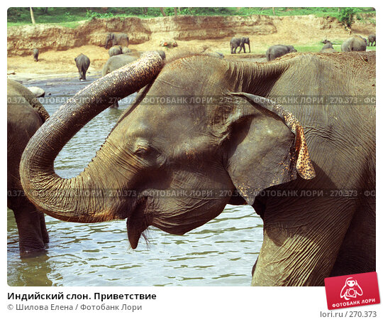 Индийский слон. Приветствие, фото № 270373, снято 22 октября 2016 г. (c) Шилова Елена / Фотобанк Лори