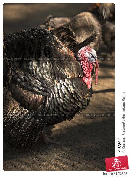 Индюк, фото № 123593, снято 20 апреля 2007 г. (c) Коваль Василий / Фотобанк Лори