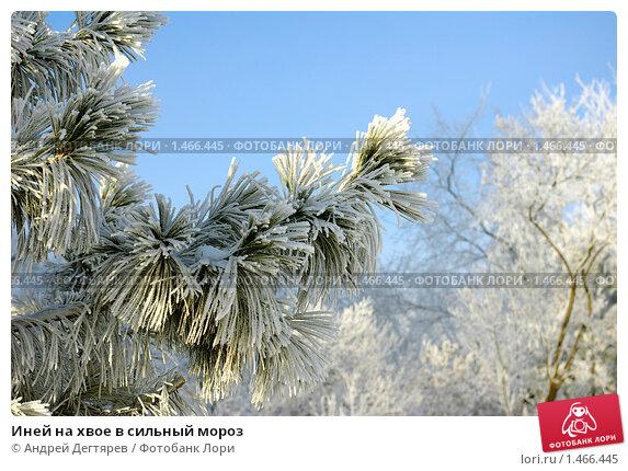 Купить «Иней на хвое в сильный мороз», фото № 1466445, снято 20 января 2010 г. (c) Андрей Дегтярев / Фотобанк Лори