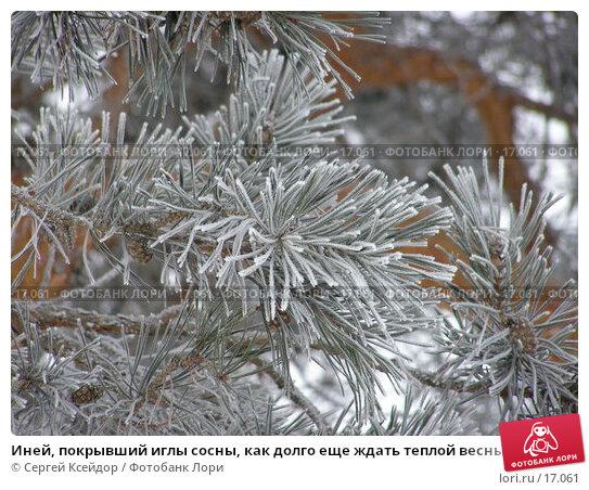Иней, покрывший иглы сосны, как долго еще ждать теплой весны, фото № 17061, снято 25 января 2007 г. (c) Сергей Ксейдор / Фотобанк Лори