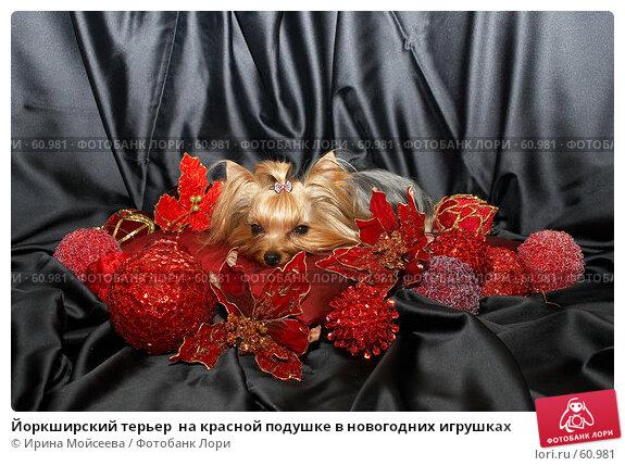 Йоркширский терьер  на красной подушке в новогодних игрушках, фото № 60981, снято 24 октября 2006 г. (c) Ирина Мойсеева / Фотобанк Лори