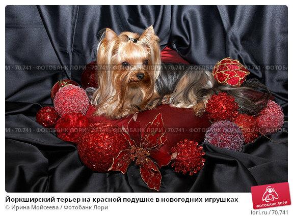 Йоркширский терьер на красной подушке в новогодних игрушках, фото № 70741, снято 24 октября 2006 г. (c) Ирина Мойсеева / Фотобанк Лори