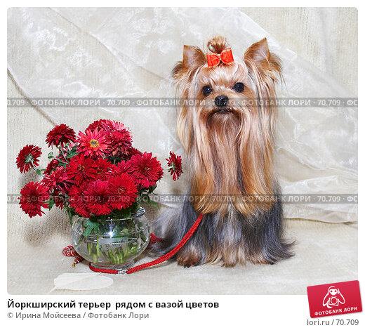 Купить «Йоркширский терьер  рядом с вазой цветов», фото № 70709, снято 16 октября 2006 г. (c) Ирина Мойсеева / Фотобанк Лори