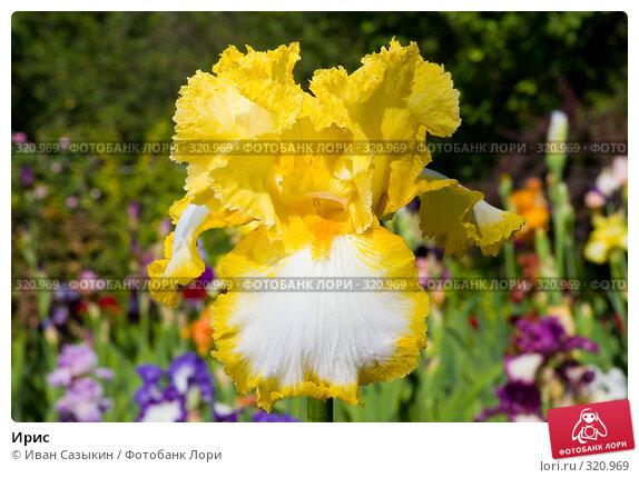 Купить «Ирис», фото № 320969, снято 23 мая 2008 г. (c) Иван Сазыкин / Фотобанк Лори