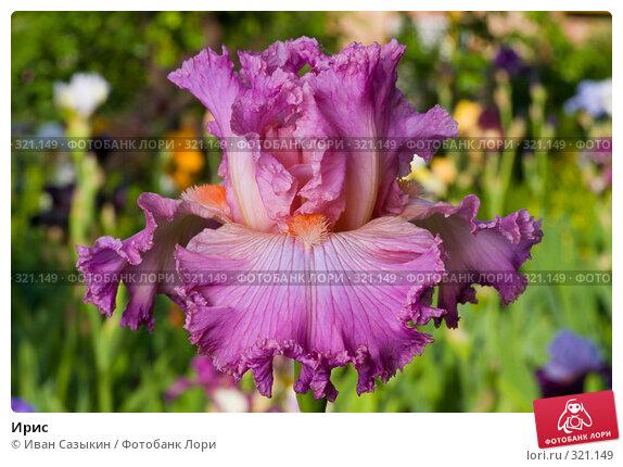 Купить «Ирис», фото № 321149, снято 23 мая 2008 г. (c) Иван Сазыкин / Фотобанк Лори