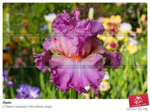 Купить «Ирис», фото № 321165, снято 23 мая 2008 г. (c) Иван Сазыкин / Фотобанк Лори