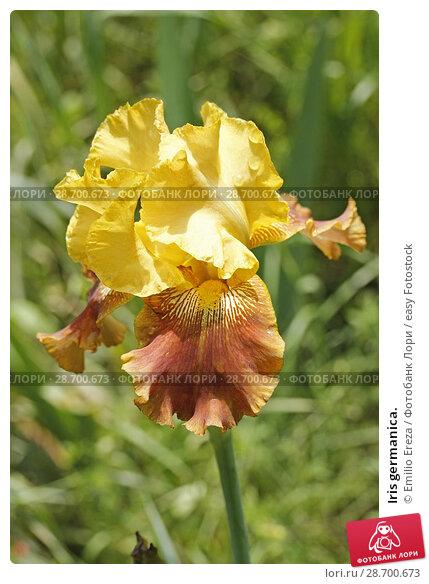 Купить «Iris germanica.», фото № 28700673, снято 7 мая 2018 г. (c) easy Fotostock / Фотобанк Лори