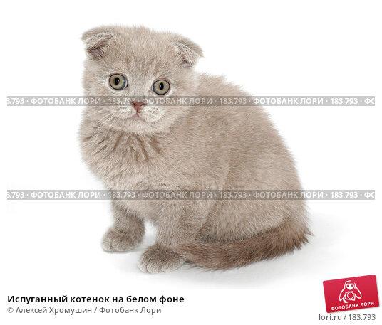 Испуганный котенок на белом фоне, фото № 183793, снято 27 октября 2007 г. (c) Алексей Хромушин / Фотобанк Лори