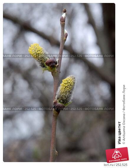 Ива цветет, эксклюзивное фото № 252525, снято 5 апреля 2008 г. (c) Алёшина Оксана / Фотобанк Лори