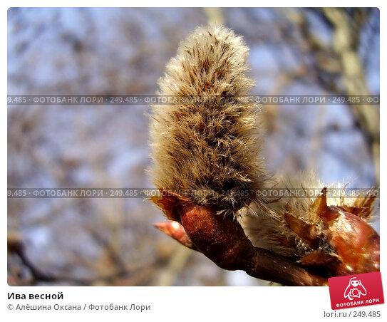 Ива весной, эксклюзивное фото № 249485, снято 26 марта 2008 г. (c) Алёшина Оксана / Фотобанк Лори