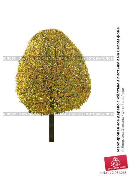 Купить «Изолированное дерево с жёлтыми листьями на белом фоне», фото № 2961265, снято 2 октября 2011 г. (c) Людмила Осокина / Фотобанк Лори