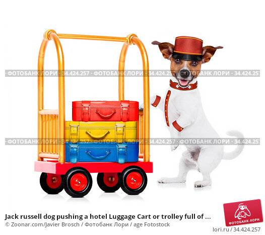 Jack russell dog pushing a hotel Luggage Cart or trolley full of ... Стоковое фото, фотограф Zoonar.com/Javier Brosch / age Fotostock / Фотобанк Лори