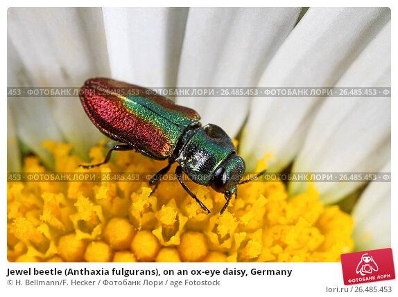 Купить «Jewel beetle (Anthaxia fulgurans), on an ox-eye daisy, Germany», фото № 26485453, снято 24 мая 2010 г. (c) age Fotostock / Фотобанк Лори