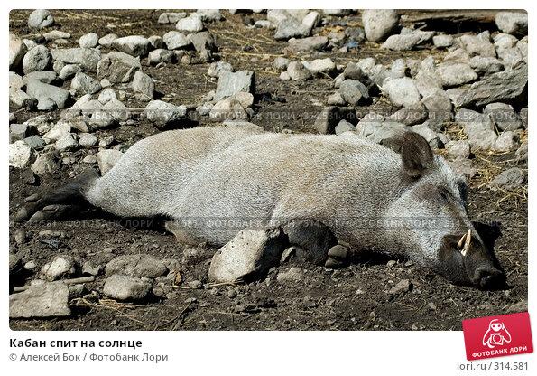 Кабан спит на солнце, эксклюзивное фото № 314581, снято 17 июля 2007 г. (c) Алексей Бок / Фотобанк Лори