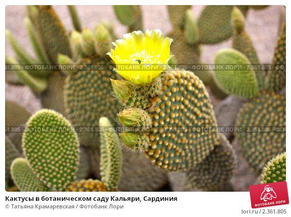 Кактусы в ботаническом саду Кальяри, Сардиния (2010 год). Стоковое фото, фотограф Татьяна Крамаревская / Фотобанк Лори