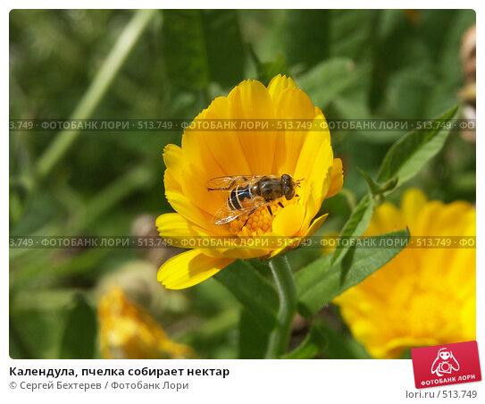 Купить «Календула, пчелка собирает нектар», фото № 513749, снято 22 августа 2004 г. (c) Сергей Бехтерев / Фотобанк Лори