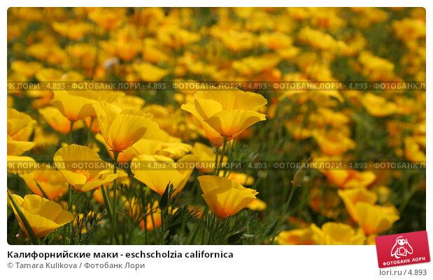 Калифорнийские маки - eschscholzia californica, фото № 4893, снято 24 июня 2006 г. (c) Tamara Kulikova / Фотобанк Лори