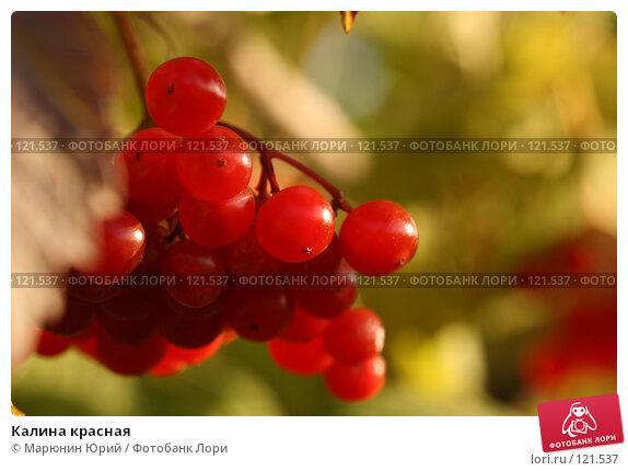 Калина красная, фото № 121537, снято 29 сентября 2007 г. (c) Марюнин Юрий / Фотобанк Лори