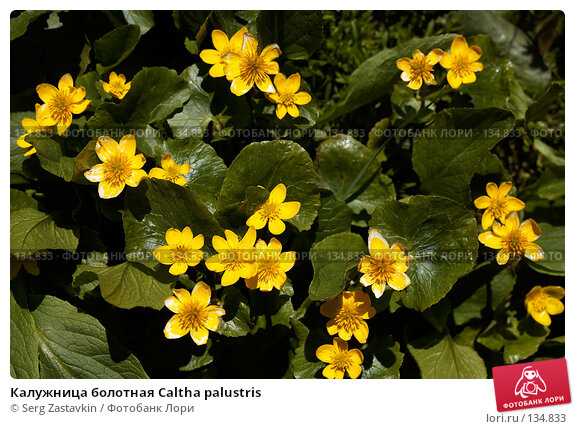 Калужница болотная Caltha palustris, фото № 134833, снято 14 августа 2006 г. (c) Serg Zastavkin / Фотобанк Лори