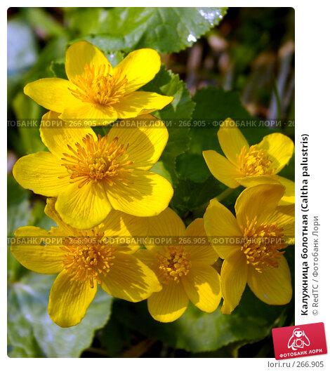 Калужница болотная (Caltha palustris), фото № 266905, снято 29 апреля 2008 г. (c) RedTC / Фотобанк Лори