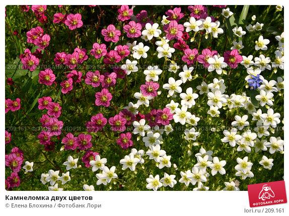 Камнеломка двух цветов, фото № 209161, снято 18 мая 2007 г. (c) Елена Блохина / Фотобанк Лори