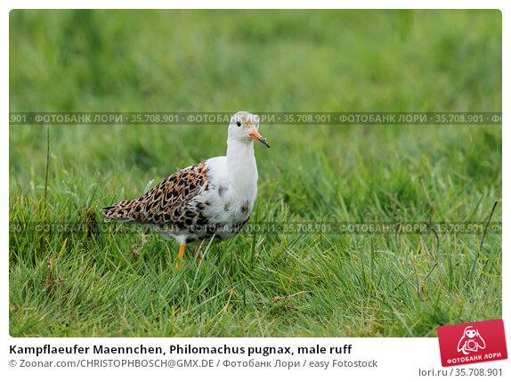 Kampflaeufer Maennchen, Philomachus pugnax, male ruff. Стоковое фото, фотограф Zoonar.com/CHRISTOPHBOSCH@GMX.DE / easy Fotostock / Фотобанк Лори