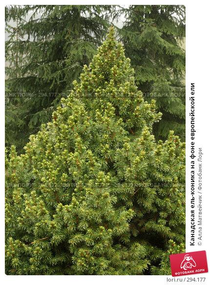 Купить «Канадская ель-коника на фоне европейской ели», фото № 294177, снято 18 мая 2008 г. (c) Алла Матвейчик / Фотобанк Лори