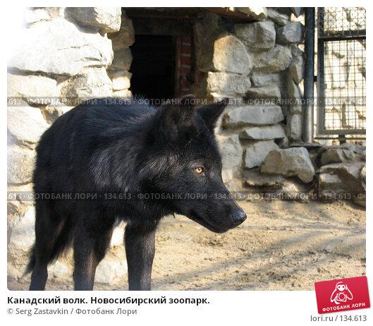Канадский волк. Новосибирский зоопарк., фото № 134613, снято 10 октября 2004 г. (c) Serg Zastavkin / Фотобанк Лори