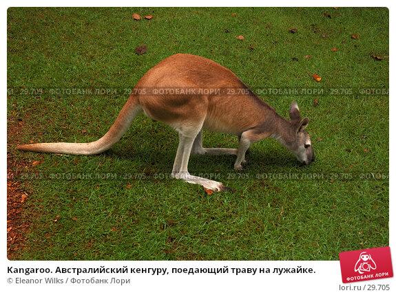Kangaroo. Австралийский кенгуру, поедающий траву на лужайке., фото № 29705, снято 15 апреля 2007 г. (c) Eleanor Wilks / Фотобанк Лори