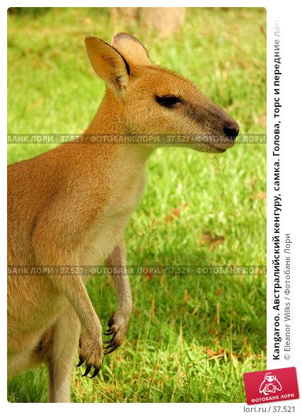 Kangaroo. Австралийский кенгуру, самка. Голова, торс и передние лапы животного на фоне травы., фото № 37521, снято 14 мая 2007 г. (c) Eleanor Wilks / Фотобанк Лори