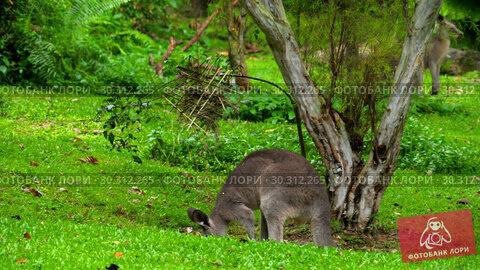 Купить «Kangaroo eating grass on a safari park», видеоролик № 30312265, снято 11 февраля 2019 г. (c) Игорь Жоров / Фотобанк Лори