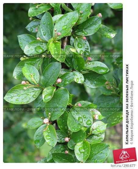 Купить «Капельки дождя на зеленых листиках», фото № 290677, снято 2 мая 2008 г. (c) Мария Коробкина / Фотобанк Лори