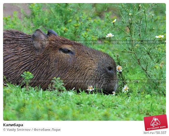 Капибара, фото № 50337, снято 30 марта 2017 г. (c) Vasily Smirnov / Фотобанк Лори