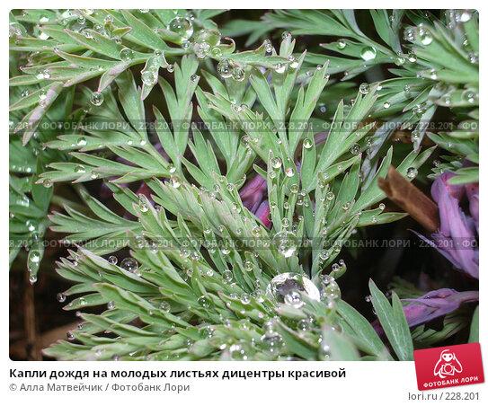 Купить «Капли дождя на молодых листьях дицентры красивой», фото № 228201, снято 20 мая 2006 г. (c) Алла Матвейчик / Фотобанк Лори