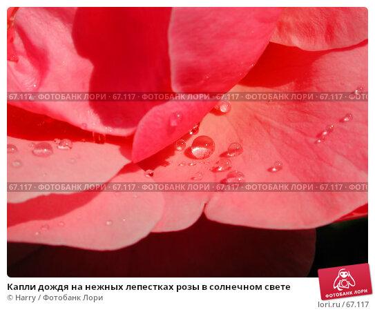 Капли дождя на нежных лепестках розы в солнечном свете, фото № 67117, снято 12 июня 2004 г. (c) Harry / Фотобанк Лори