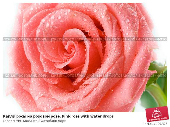 Капли росы на розовой розе. Pink rose with water drops, фото № 129325, снято 3 марта 2007 г. (c) Валентин Мосичев / Фотобанк Лори