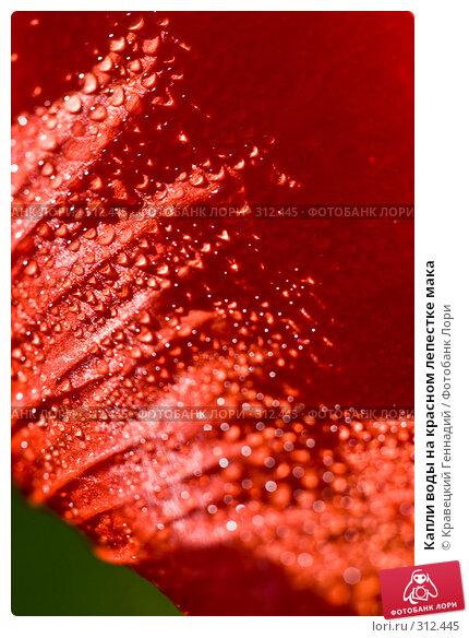 Капли воды на красном лепестке мака, фото № 312445, снято 2 июля 2005 г. (c) Кравецкий Геннадий / Фотобанк Лори