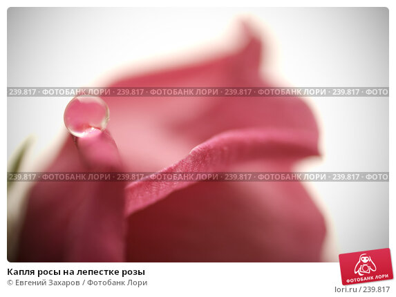 Капля росы на лепестке розы, эксклюзивное фото № 239817, снято 12 марта 2008 г. (c) Евгений Захаров / Фотобанк Лори