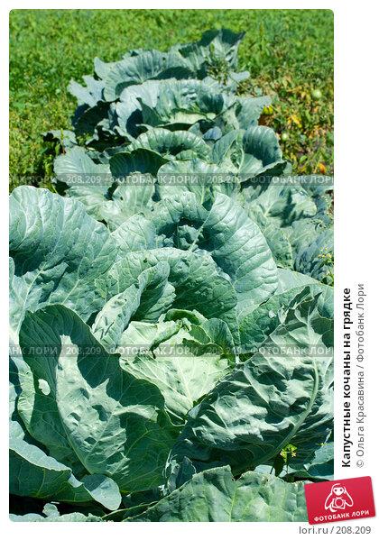 Капустные кочаны на грядке, фото № 208209, снято 13 августа 2007 г. (c) Ольга Красавина / Фотобанк Лори