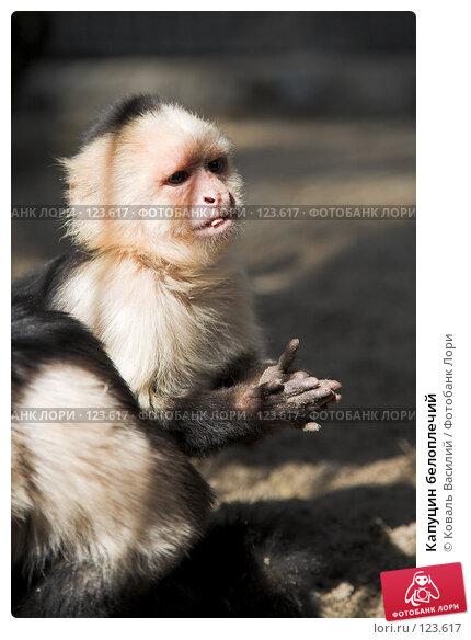 Купить «Капуцин белоплечий», фото № 123617, снято 20 апреля 2007 г. (c) Коваль Василий / Фотобанк Лори