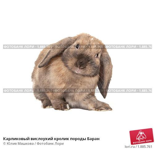 Купить «Карликовый вислоухий кролик породы Баран», фото № 1885761, снято 4 августа 2010 г. (c) Юлия Машкова / Фотобанк Лори