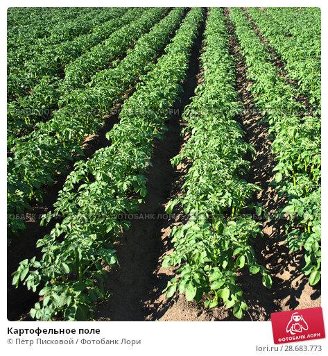 Купить «Картофельное поле», фото № 28683773, снято 23 июня 2018 г. (c) Пётр Писковой / Фотобанк Лори