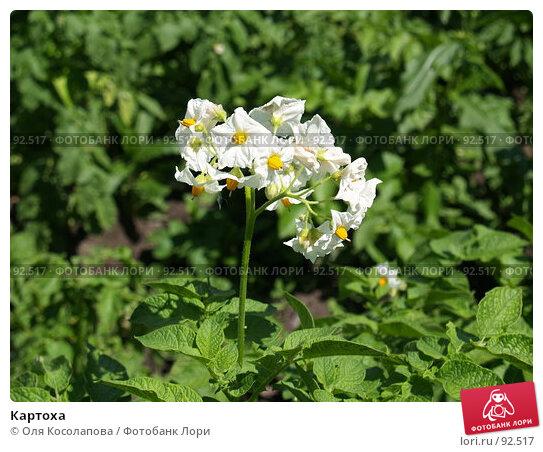 Картоха, фото № 92517, снято 15 июля 2007 г. (c) Оля Косолапова / Фотобанк Лори