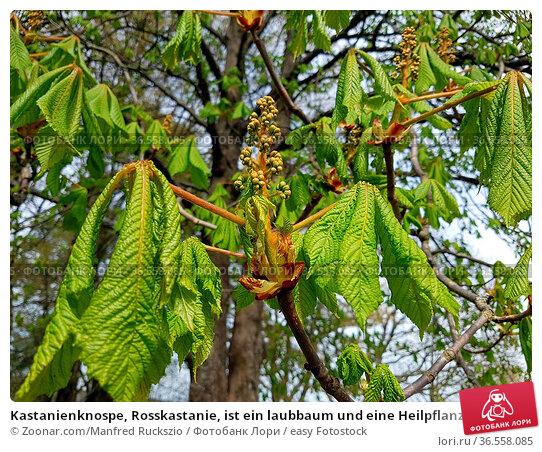 Kastanienknospe, Rosskastanie, ist ein laubbaum und eine Heilpflanze... Стоковое фото, фотограф Zoonar.com/Manfred Ruckszio / easy Fotostock / Фотобанк Лори