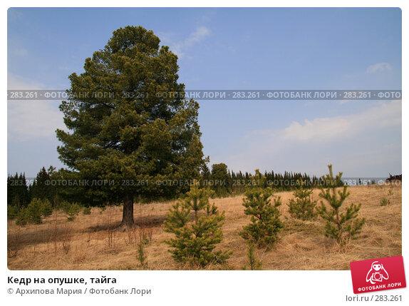 Кедр на опушке, тайга, фото № 283261, снято 9 мая 2008 г. (c) Архипова Мария / Фотобанк Лори