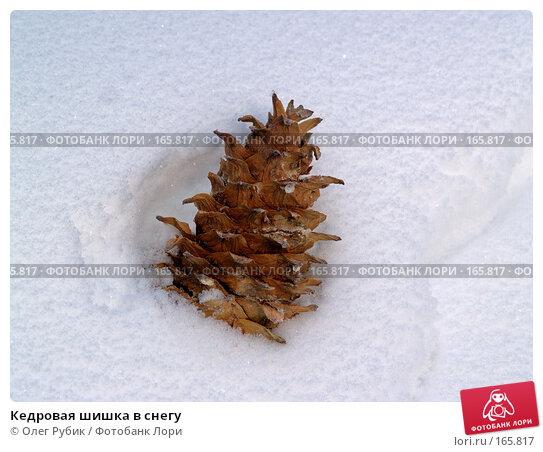 Купить «Кедровая шишка в снегу», фото № 165817, снято 30 декабря 2007 г. (c) Олег Рубик / Фотобанк Лори